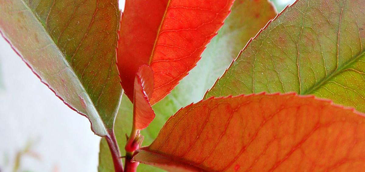 Bladhoudend Photinia