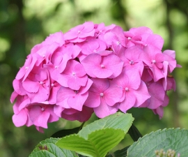 Hortensia Bolvorm 'Bouquet Rose'